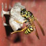 Дезинфекция ос, уничтожение осиных гнезд