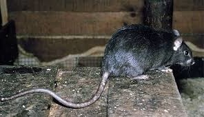 Krysa na predpriyatyi