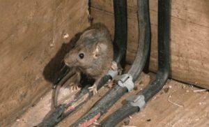 фото мыши грызущей провода