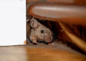цена дератизации загородной мыши