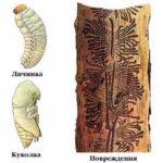 Борьба с жуком короедом - обработка домов, деревьев, досок