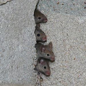 как навсегда избавиться и вывести мышь в квартире любым средством