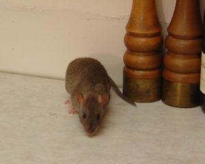 крысы это грызуны паразиты
