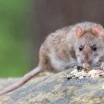 Обработка помещений от крыс - где заказать и сколько стоит