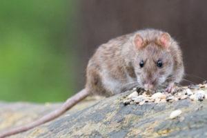 цена сэс службы очистки квартиры от крыс