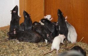 куда обращаться для уничтожения крыс в подъездах и дворах многоквартирного дома