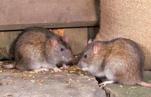 меры по борьбе с земляной крысой на участке любым способом