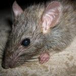 Борьба с крысами в Екатеринбурге и Свердловской области