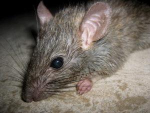 эффективные средства и способы борьбы с земляными крысами