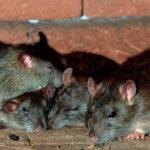Уничтожение крыс - СЭС служба в Екатеринбурге и Свердловской области